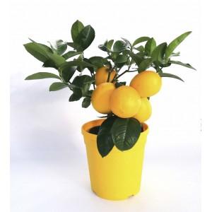Oranger ou Citronnier en Pot (Orange ou Jaune) - 1.5L