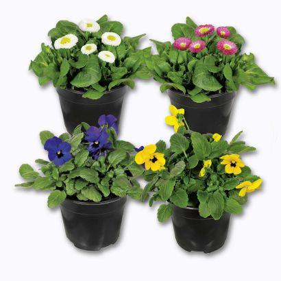 Plante en pot Garden Feelings - Variété et coloris au choix