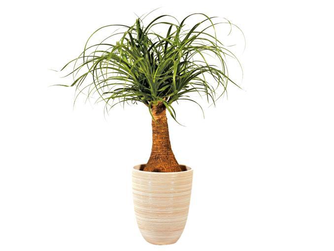Plante verte d'intérieur Beaucarnea Recurvata - Diamètre : 19cm et Hauteur : 50cm