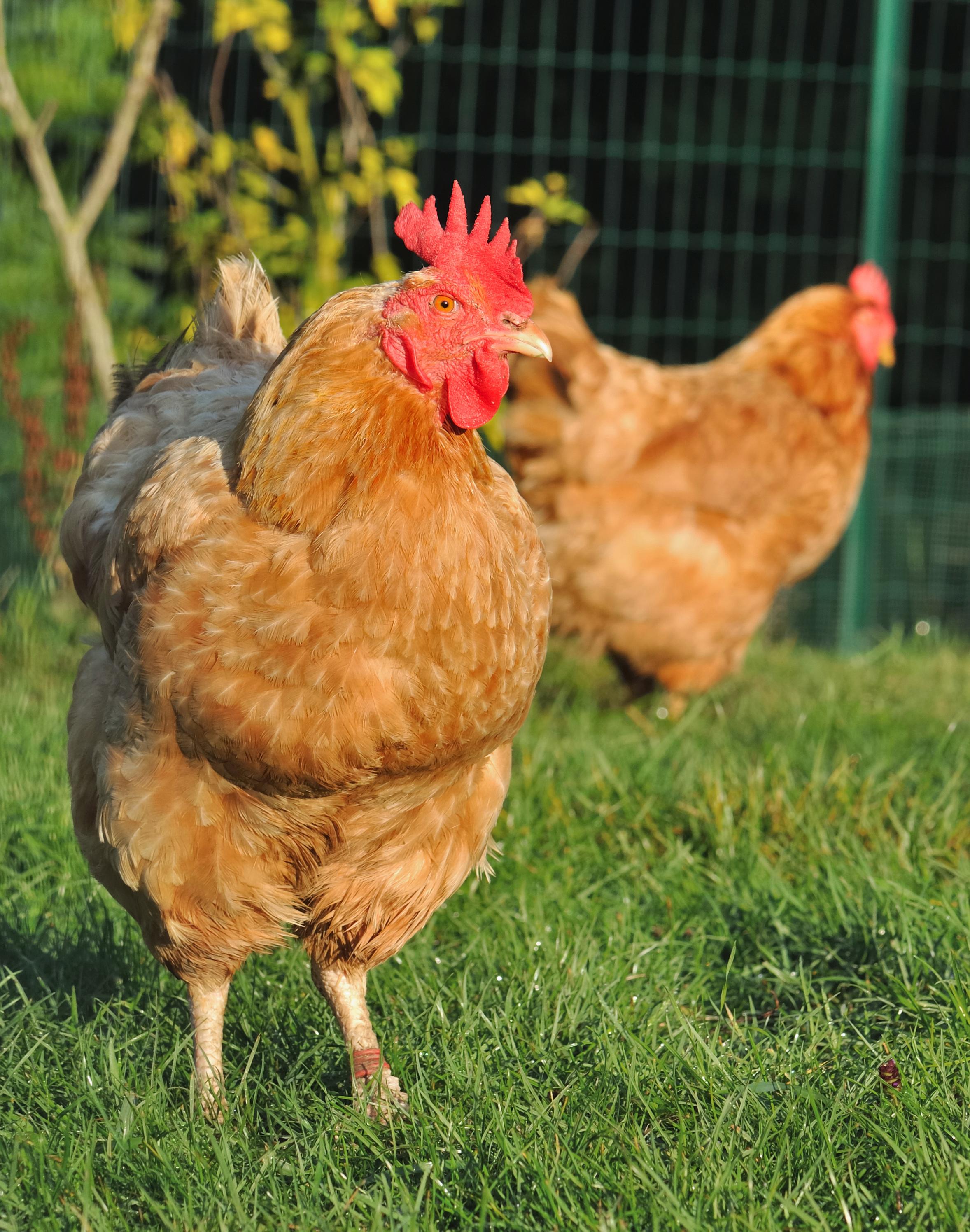 2 poules pondeuses offertes pour réduire ses déchets - Caluire-et-Cuire (69)