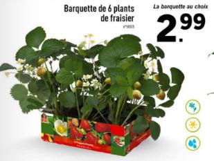 Barquette de 6 Plants de Fraisier
