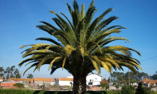 Lot de 4 palmiers exotiques (50‐70 cm)