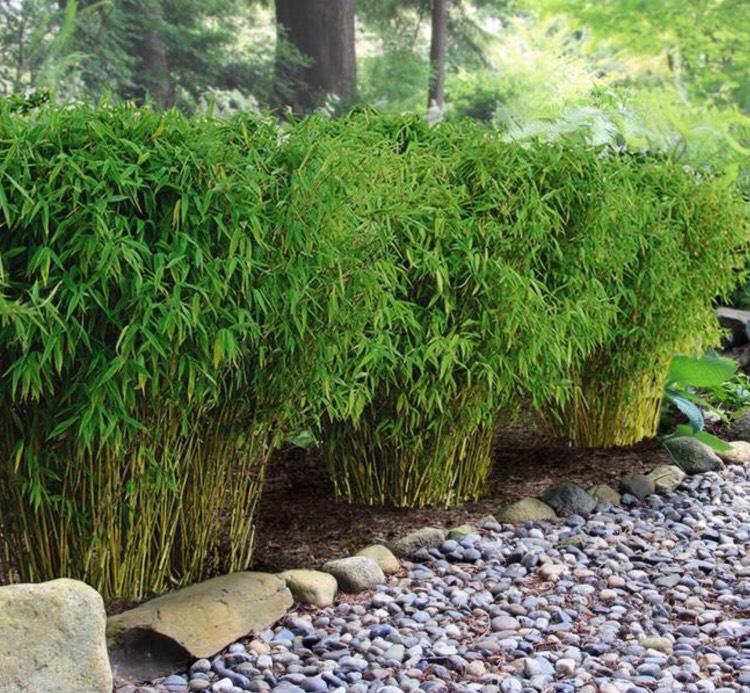 3 Bambous de haie - Hauteur 60cm