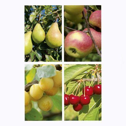 Arbres Fruitiers aux choix - Pommier, Poirier, Prunier ou Cerisier