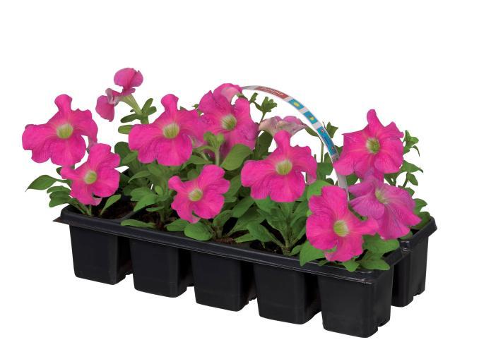 Lot de 3 barquettes de 10 plants à Massif au choix