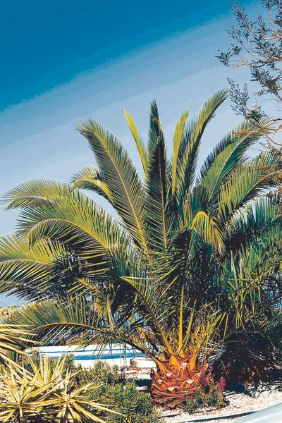 Palmier Phoenix Canariensis - Hauteur 80 / 100 cm