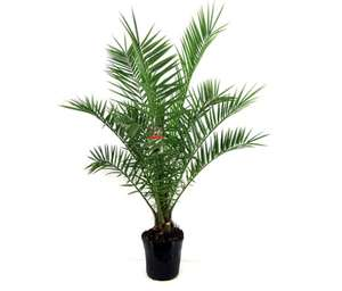 Lots de 2 palmiers des Canaries - 120-140cm