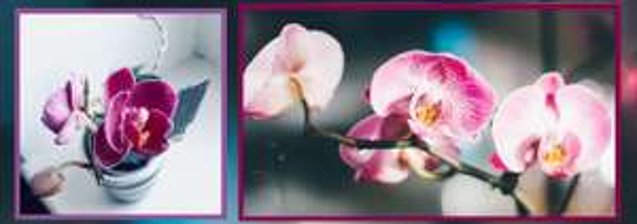 Sélection de plantes - 1 Tige - Ex : Orchidée phalaenopsis blanc, fuchsia, orangé, rose pâle