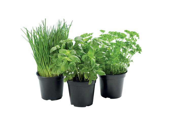 Pot de Plantes Aromatiques Bio (Plusieurs variétés)