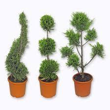 Plante topiaire (Plusieurs variétés) - Strasbourg Hautepierre (67)