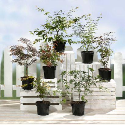 Plante Érable du Japon - 3L