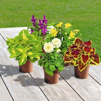 Plante fleurie (Plusieurs variétés)