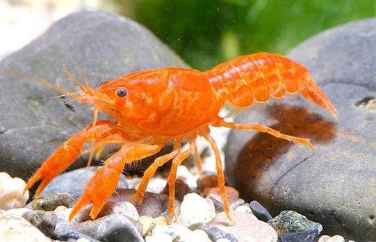 Cambarellus Patzcuarensis orange (CPO)