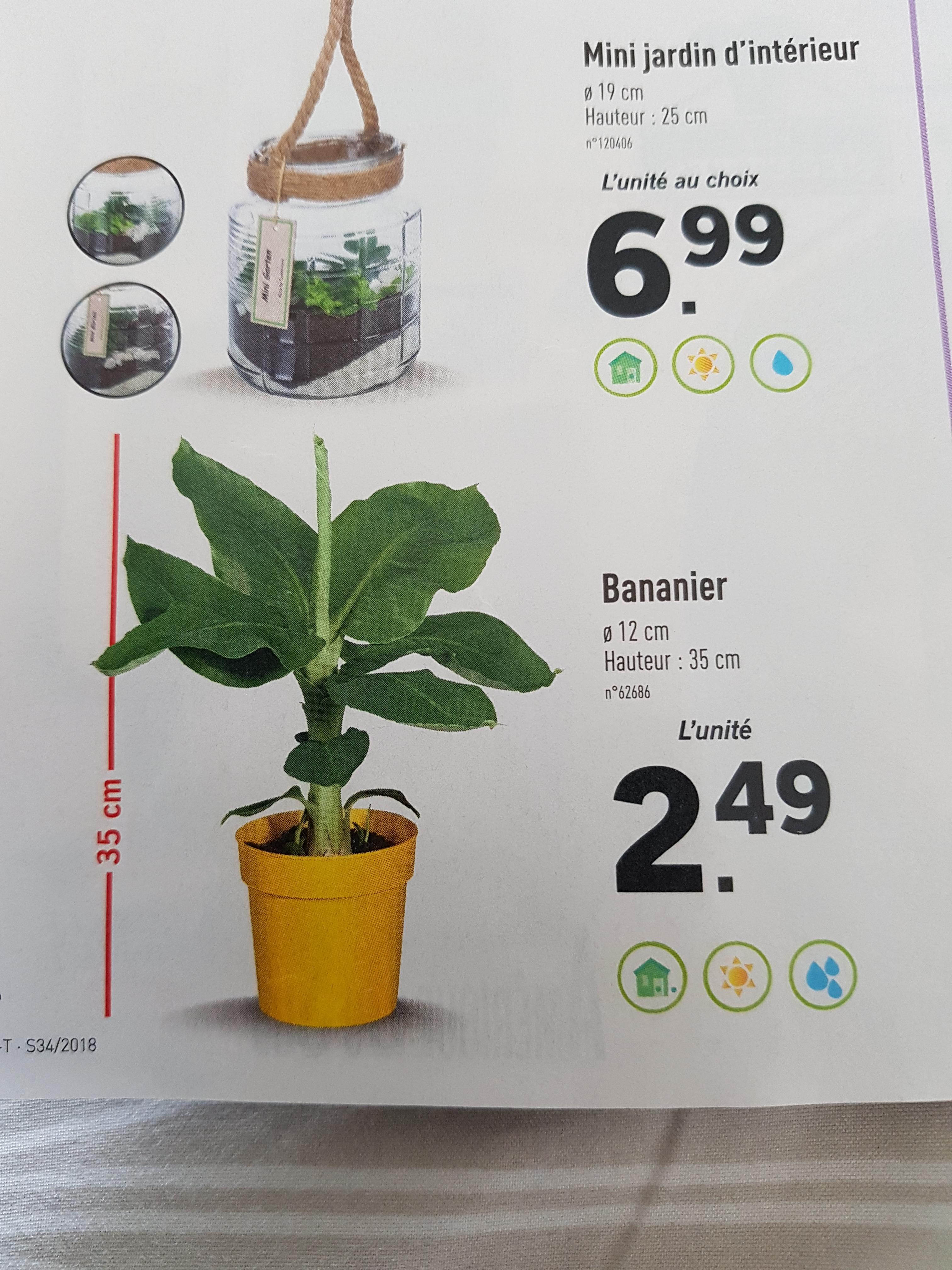 Bananier en pot - hauteur 35 cm et diamètre du pot 12 cm – Dealabs.com