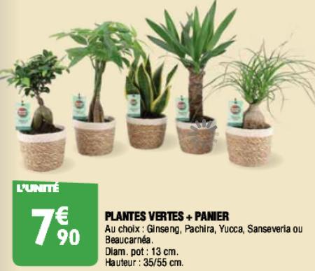 Sélection de plantes en promotion - Ex: Ficus Ginseng ou Beaucarnéa avec panier (55 cm)