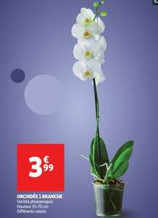 Orchidée Phalaenopsis 1 Branche (Coloris au choix) - 55 / 70cm