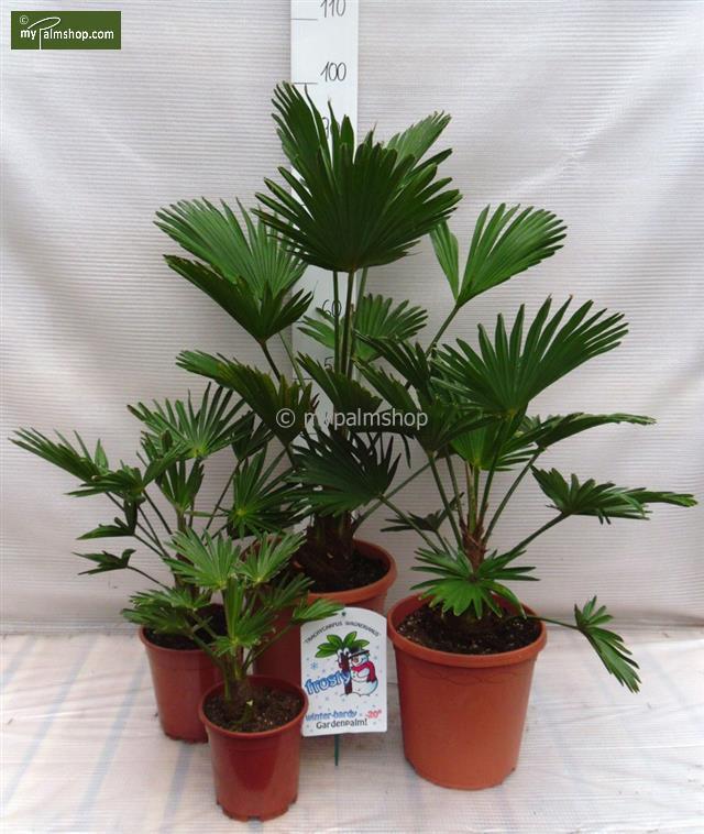 4 palmiers Trachycarpus wagnerianus (entre autres promos)