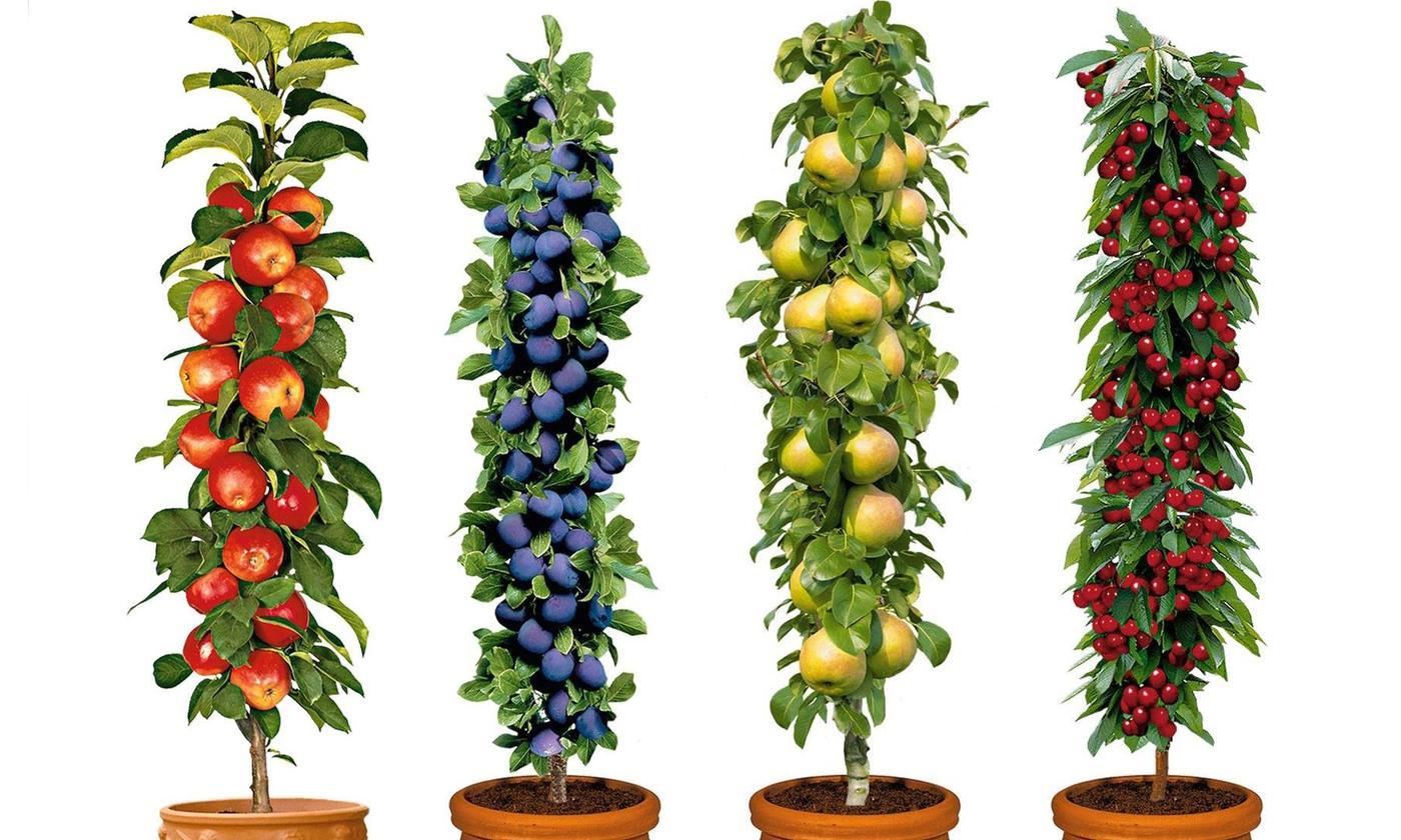 Lot de 4 ou 8 arbres fruitiers hauteur 60-70cm