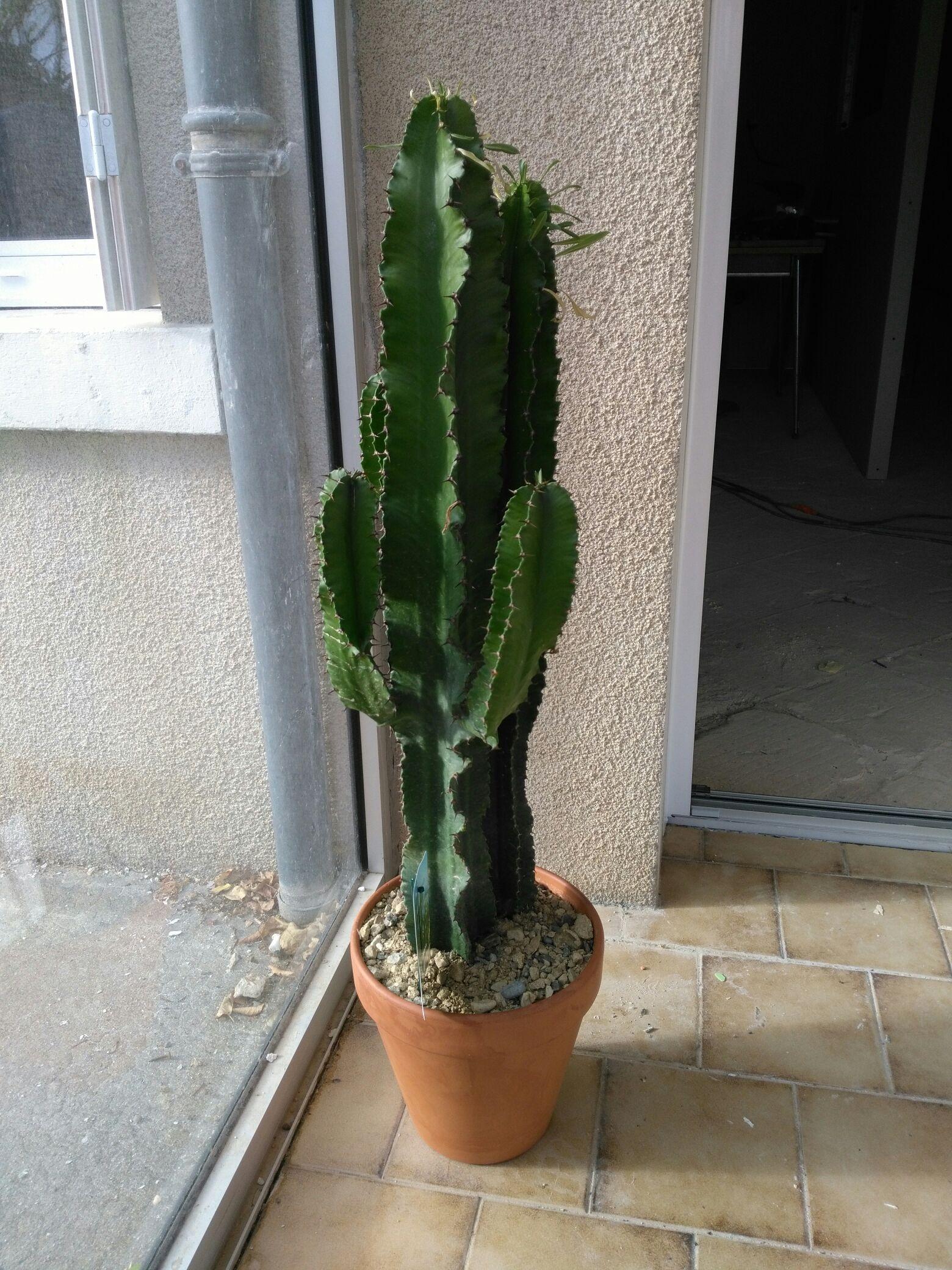 Cactus Euphorbia - Loches (37)