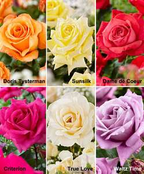 Buisson de Rosiers à grandes fleurs en mélange