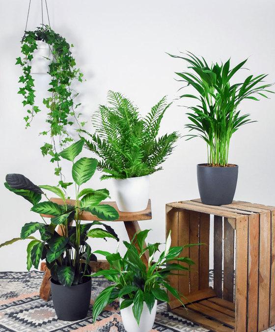 Lot de 5 plantes d'intérieur dépuratives (Sans pots)