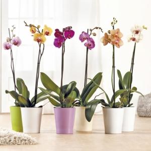 Orchidée en pot Phalaenopsis - 55 à 70 cm de hauteur, différents coloris