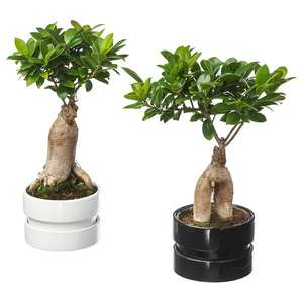 [Carte Ikea Family] Ficus Microcarpa Ginseng - Bonsaï, 14 cm