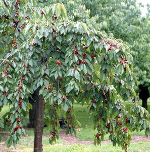 Arbre fruitier Quenouille - cerisier, poirier, pommier ou prunier, 3 à 5 m