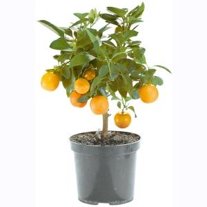 Plante agrume méditerranéenne en pot - hauteur 70/90cm, pot Ø env. 20 cm