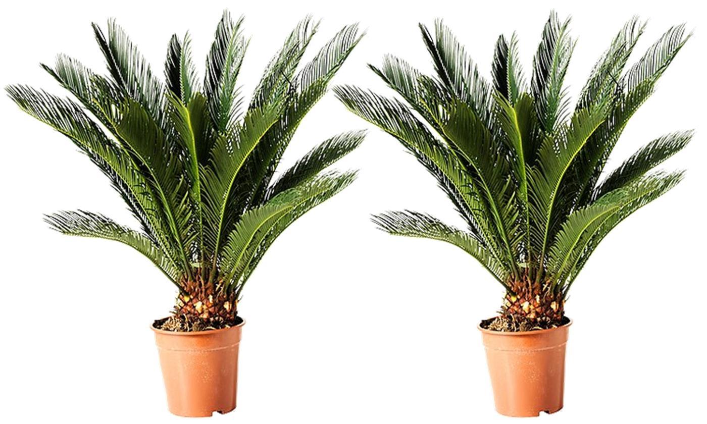 Lot de 2 palmiers Cycad King Sago - 50 à 60cm