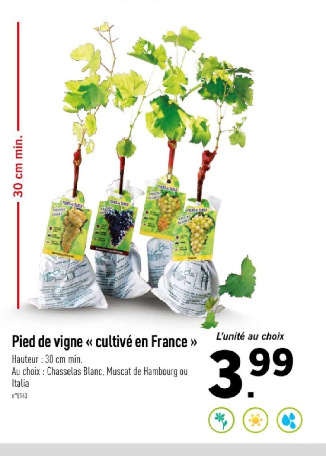 Pied de vigne - Hauteur 30 cm minimum