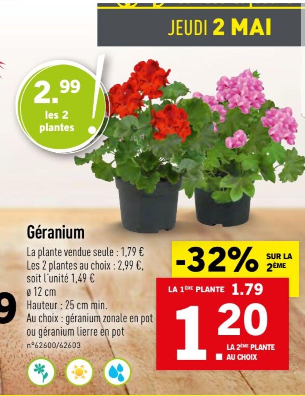 Lot de 2 plantes Géranium - Hauteur 25 cm, diamètre 8 cm