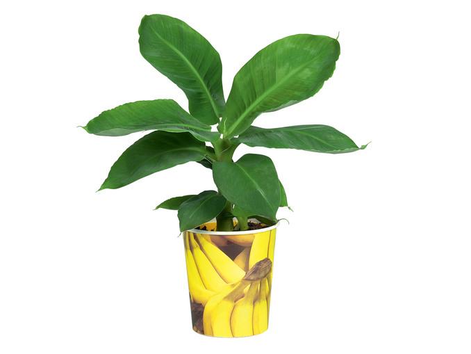 Bananier en pot -  14 cm (ou Fraisier, caféier, plant de tomate)