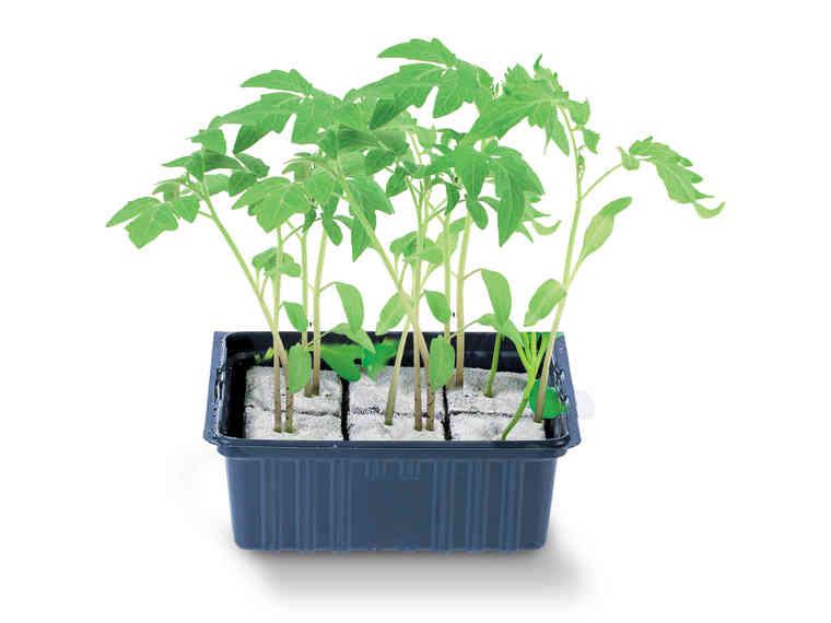 Barquette de Plants de Légumes - Variétés au choix