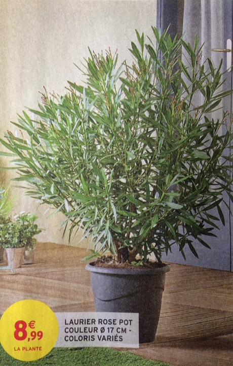 Laurier Rose en pot diamètre 17cm - Nouvelle-Aquitaine