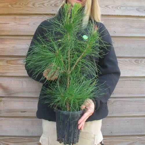 Pin Rouge du Japon (Pinus densiflora) - Taille 40 / 50cm  & Pot 1.3L (planfor.fr)