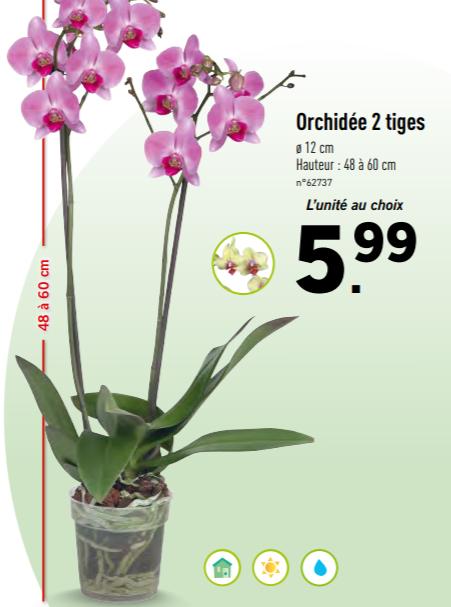 Lidl - Orchidée 2 tiges - 48 à 60cm