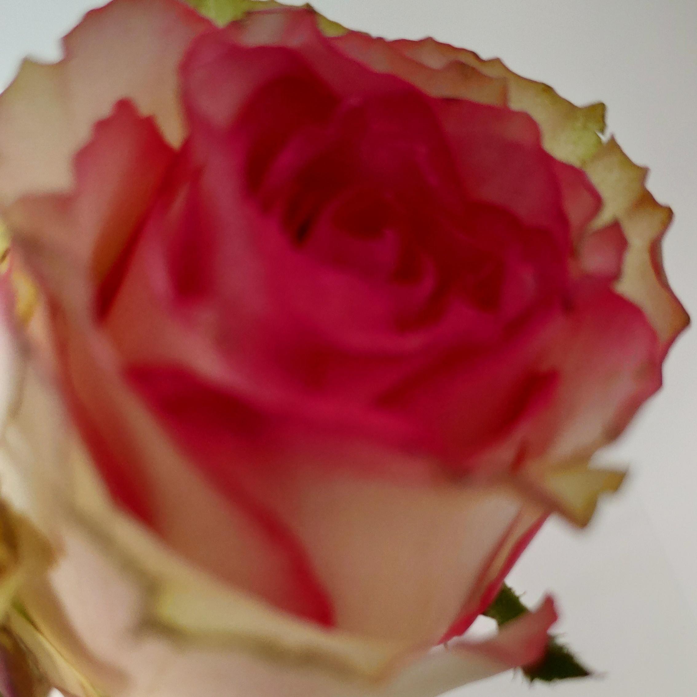 Une rose offerte en caisse pour la fête des mères - Decathlon Colmar (68)