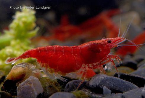 Crevette Neocaridina heteropoda - Red Fire