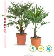Palmier de jardin Trachycarpus ou Chamerops - Hauteur 80cm, Diamètre du pot 22cm