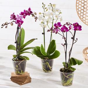 Orchidée 2 tiges - Pot: 9cm, Variété : Phalaenopsis