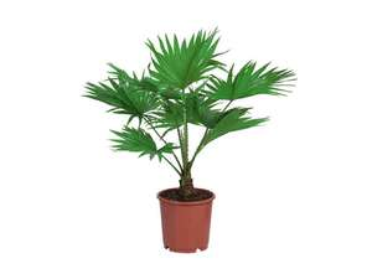 Palmier de jardin - Cycas, Livingstonia ou Zamioculcas)