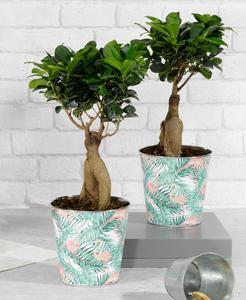 Bonsaï Ficus Ginseng dans un Pot en Zinc de diametre 15 cm