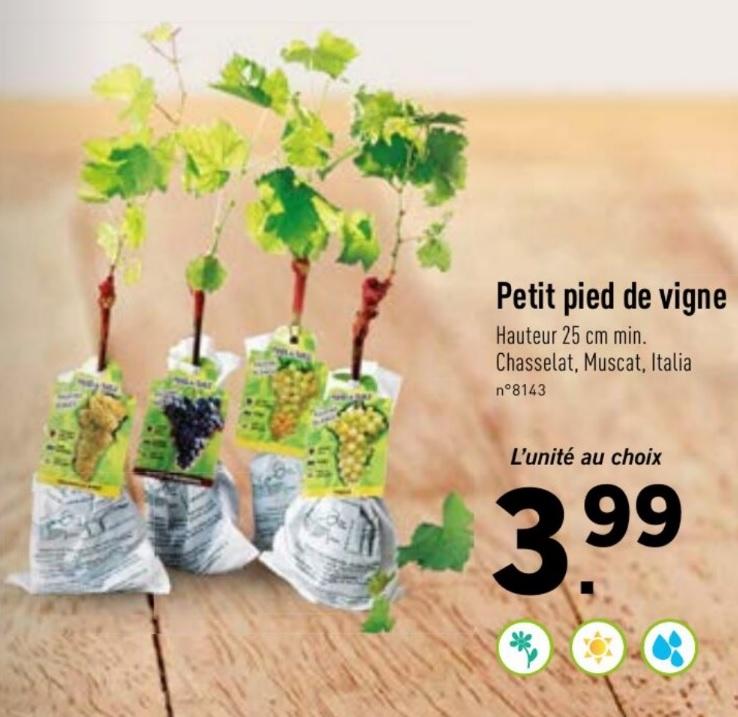 Pied de vigne au choix - Chasselas Blanc, Muscat de Hambourg ou Italia