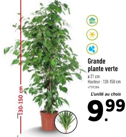 Grande plante verte 130-150 cm (Plusieurs variétés)