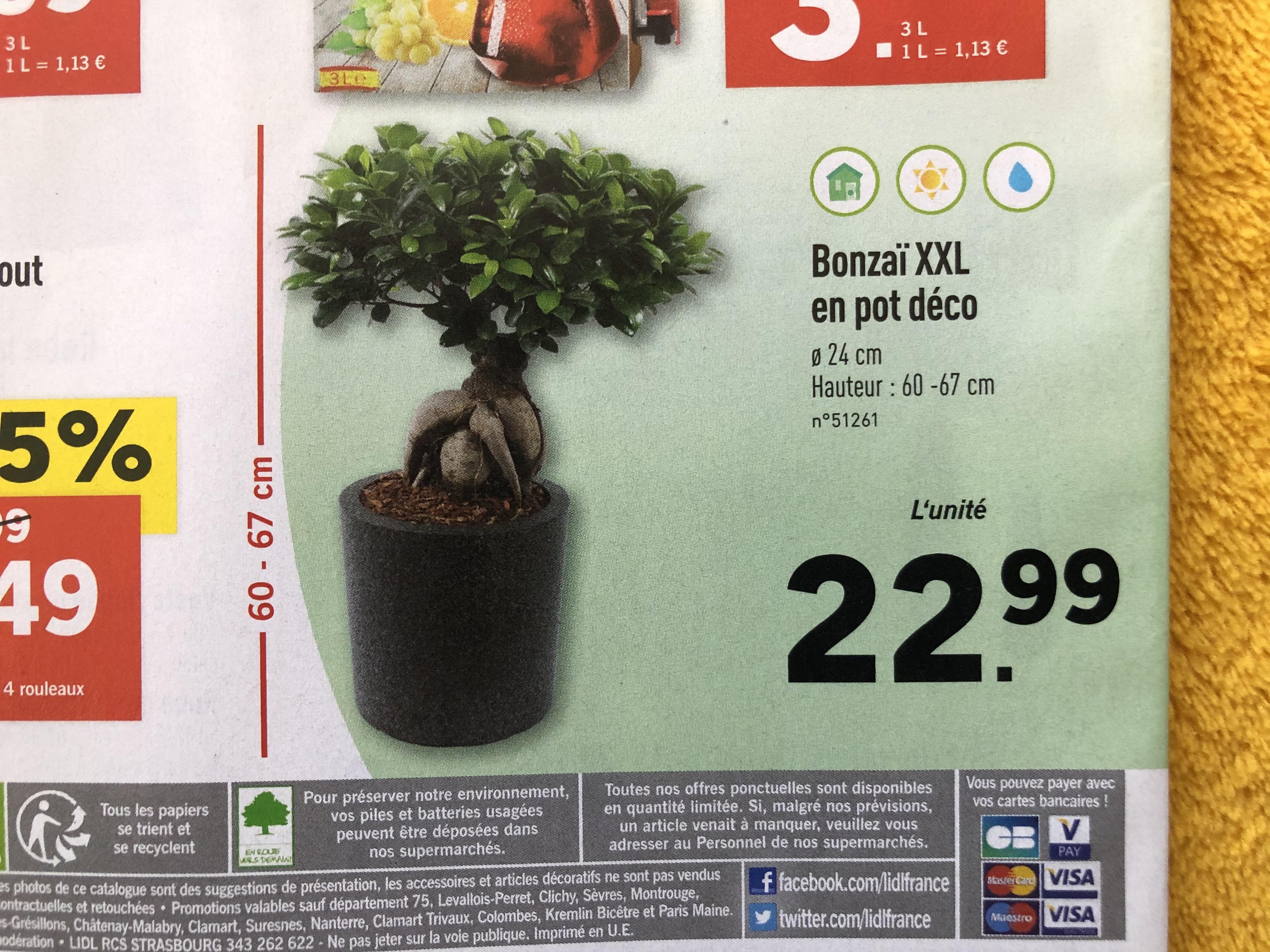 Plante Bonzaï XXL - 60 à 67 cm de hauteur