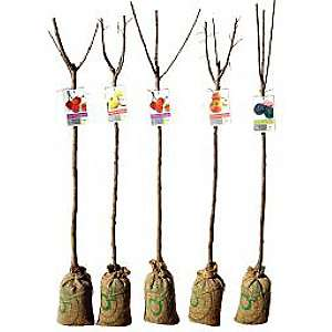 Sélection d'Arbres Fruitiers ou à Agrumes en Promotion - Ex: Cerisier (1,50m)