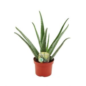 Plante Aloe Vera (hauteur env. 28/30 cm)