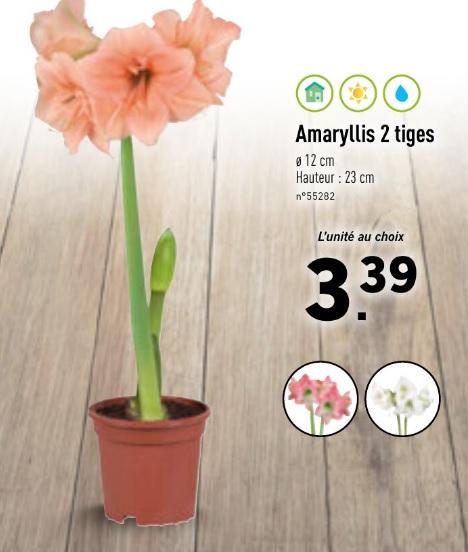 Amaryllis 2 tiges - couleur au choix