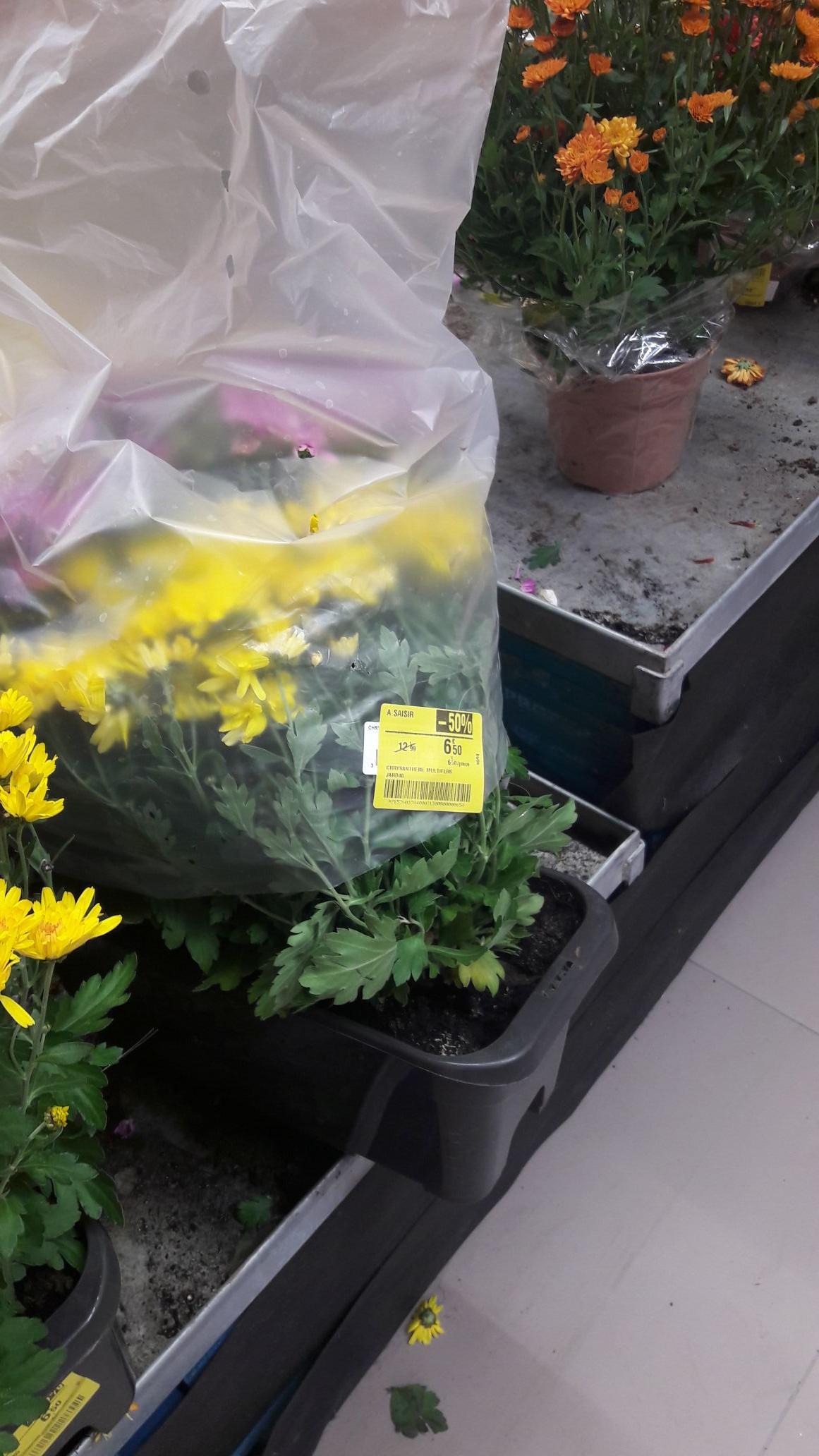 -50% sur les chrysanthèmes - Dijon (21)